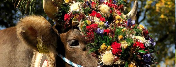 prächtig geschmückte Kuh - Oberstdorfer Viehscheid